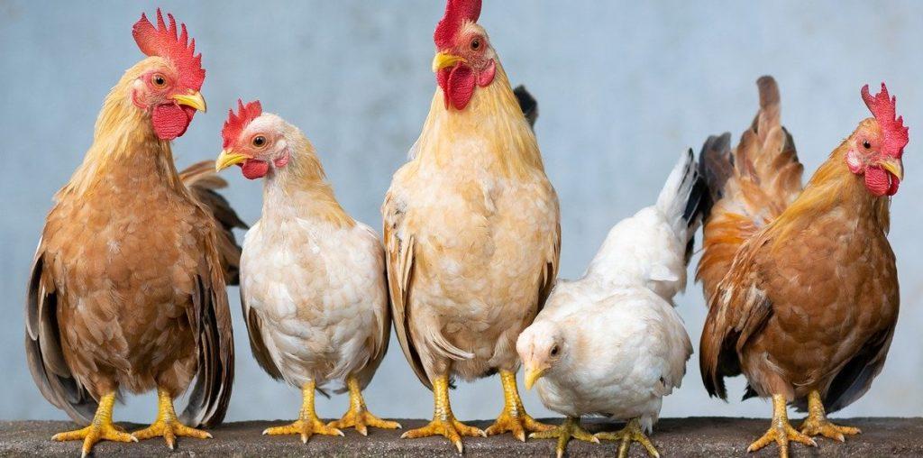 Automatische Hühnerklappe mit Solar