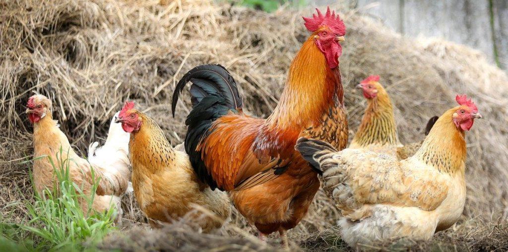 Hühnerklappe mit Solar