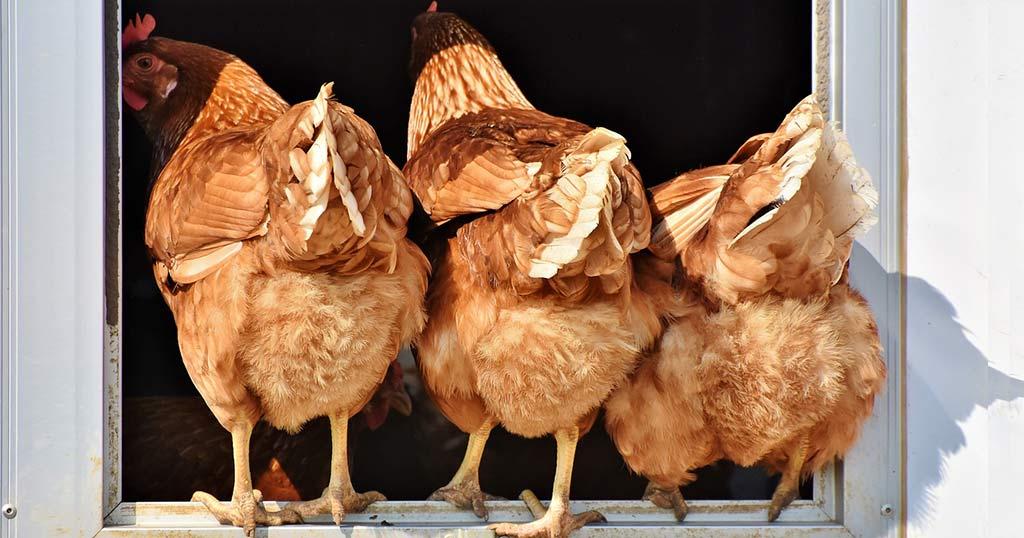 Hühnerklappe batteriebetrieben